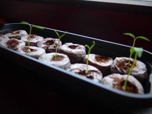 Kolm nädalat hiljem. 12-st külvatud seemnest tärkas viis tšillitaimekest. Kui eelmisel aastal läksin külvamistega hoogu ja aknalaual sirgusid erinevat sorti tšillid, paprikad ja tomatid, siis sellel aastal olen väga tagasihoidlikult alustanud. No tegelikult piisab mulle ju viiest tšillitaimest ka ;)
